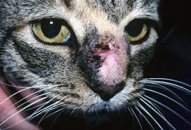 Sporotrichosis in Cats