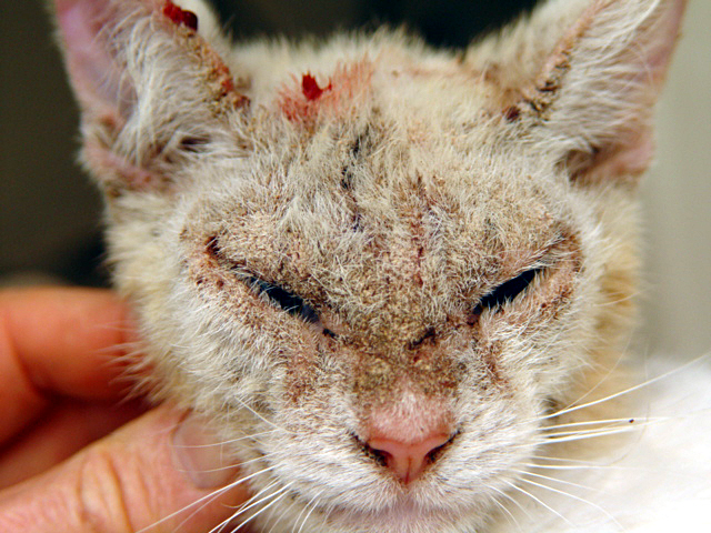 Cat Mange Feline Scabies All You Need To Know And More